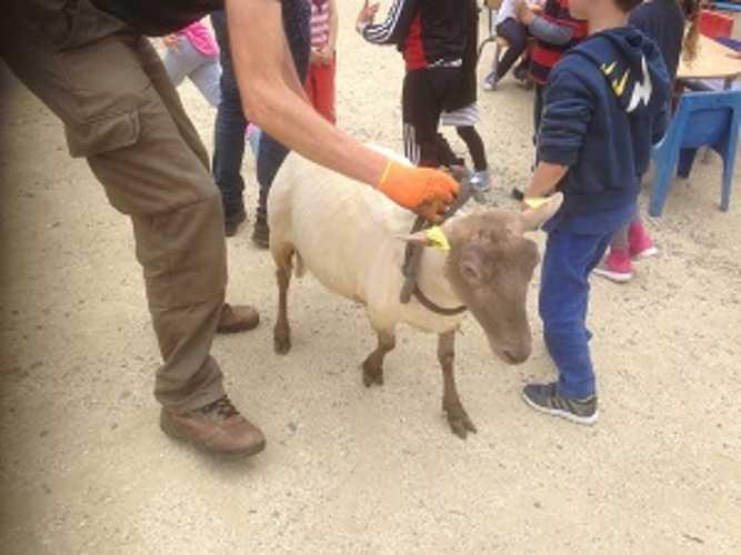 La tonte des moutons... img2971